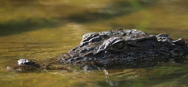 Cauvery River Crocodile
